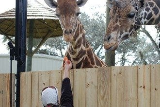 Orlando Area Zoo Adds Giraffe Feeding to Visitor Activities