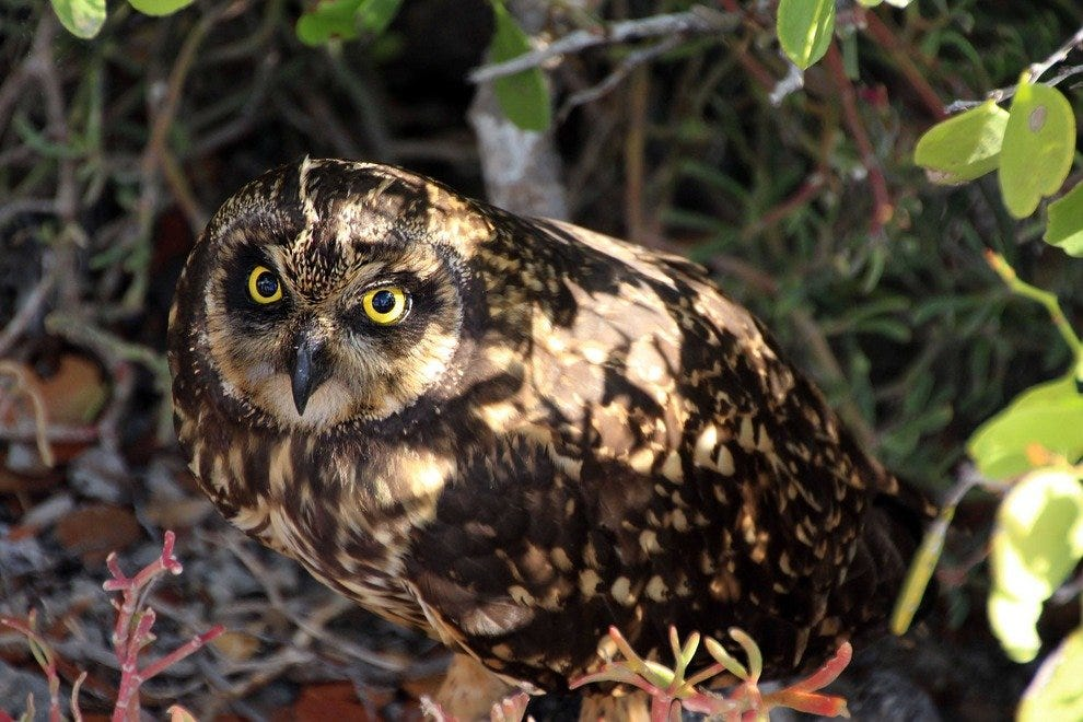 Short-eared owl, North Seymour Island