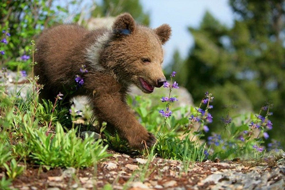 A Tahoe brown bear cub checks out the spring flowers.
