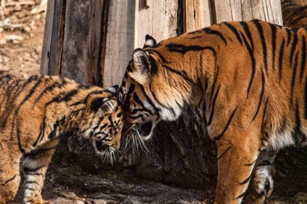 Tigers are just some of the animals you'll get to know during ZooFari.