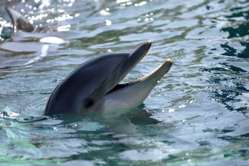 Dolphin watching is a popular and education activity of the coast of Ft. Myers.