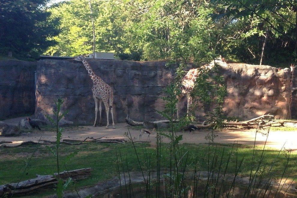 俄勒冈动物园的长颈鹿