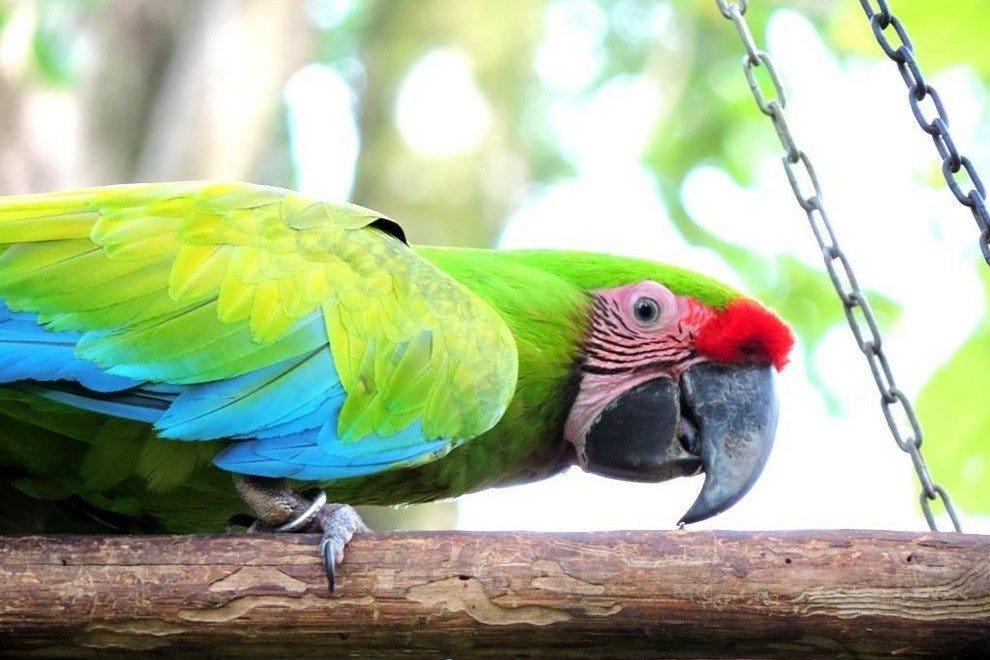 曼扎尼洛的绿色金刚鹦鹉
