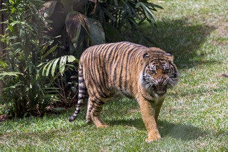 See the San Diego Zoo Safari Park's Tiger Trail
