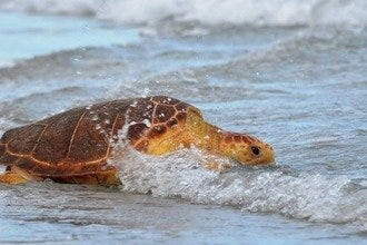 Palm Beach Turtle Walk Registration Now Open for June/July