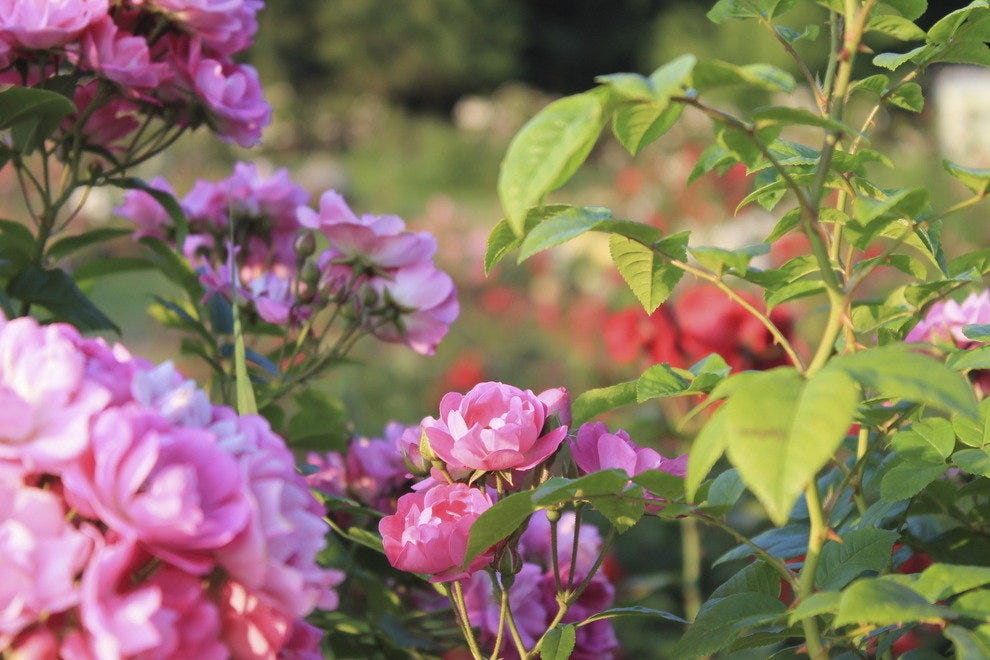10best Beautiful Rose Gardens
