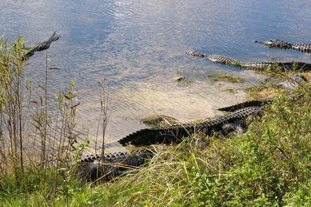 鳄鱼聚集在绿洲游客中心