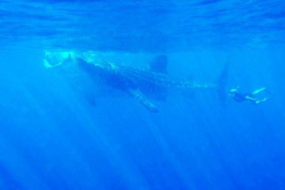 Whale sharks pose no danger to humans