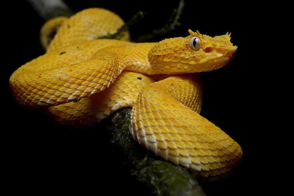 Eyelash palm pitviper in Costa Rica