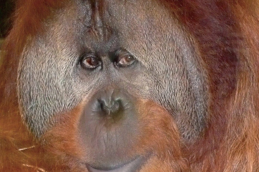 Indianapolis Zoo's orangutan Azy watches visitors watching him