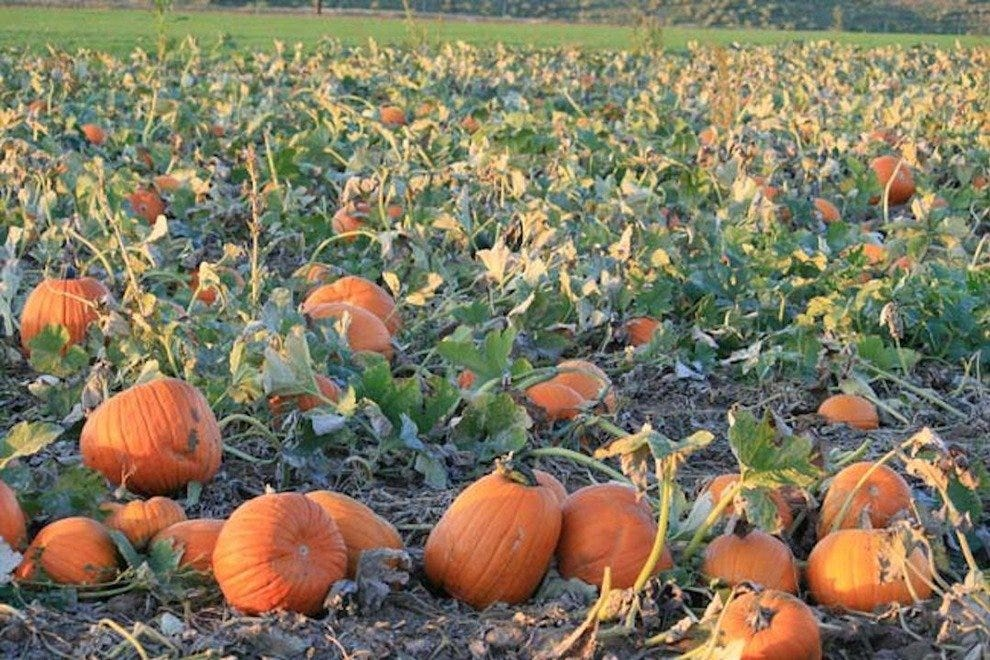 Rock Creek Farm's pumpkin patch