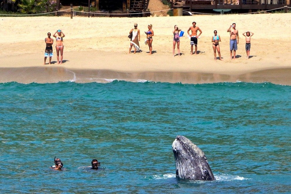 A gray whale frolics in the water with snorkelers, while spectators marvel at the view from Dana Point beach.
