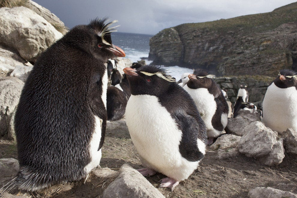 Want to visit Rockhopper penguins? You'll have to sail to Antarctica.