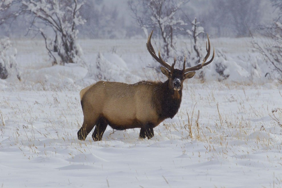 elk-in-snow-Courtesy-Rocky-Mountain-Nati
