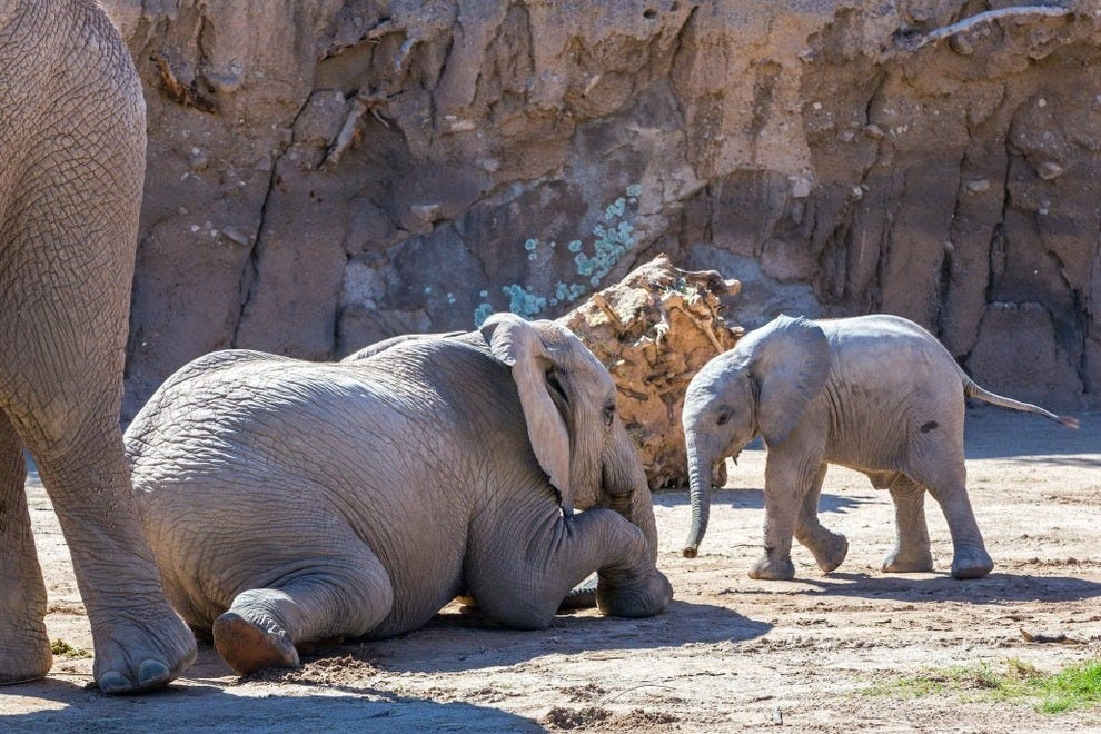 Reid Park Zoo recently welcomed a new baby African elephant