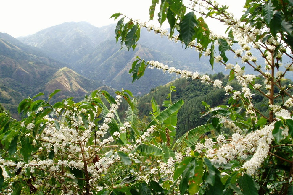 Jamaica's Blue Mountain coffee fields in bloom.