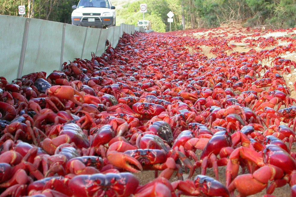Red Crabs on Christmas Island, Australia