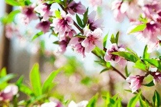 Peach Blossom Celebration