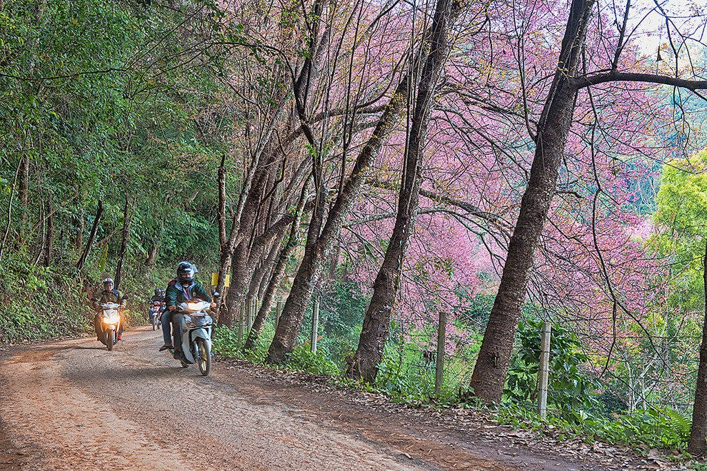 Cherry blossoms by bike