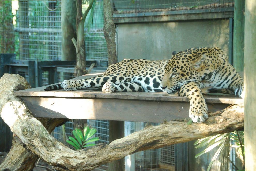 布雷瓦德动物园的美洲虎