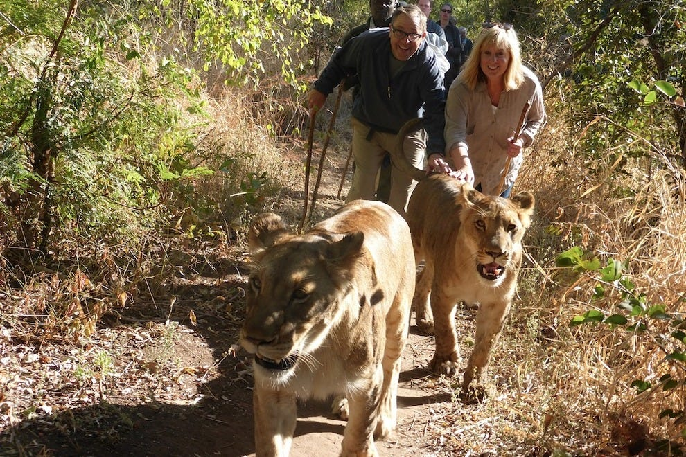 Walking in line with lions