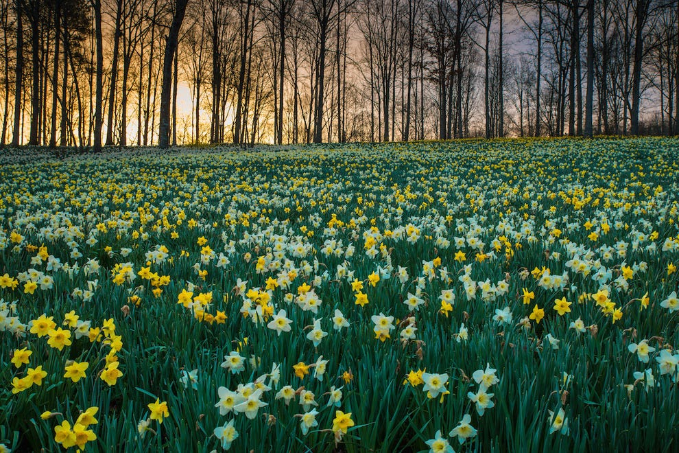 March daffodils, early in the morning