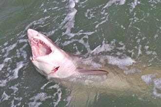 Would You Fish for Sharks on the Space Coast?