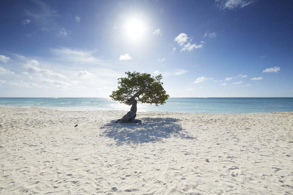 Aruba's signature Fofoti tree on the sugar white sand of Eagle Beach