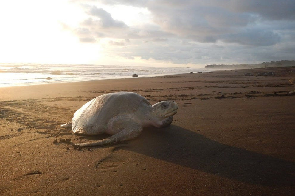 Majestic Leatherbacks feed soley on jellyfish, and come ashore to lay eggs