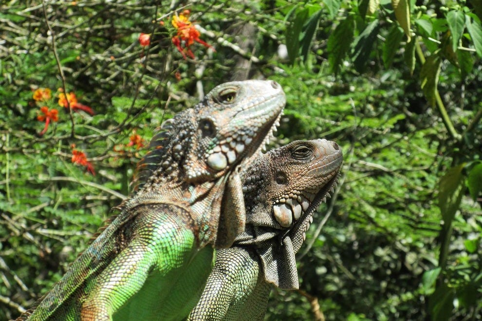 Green Iguanas in the elements