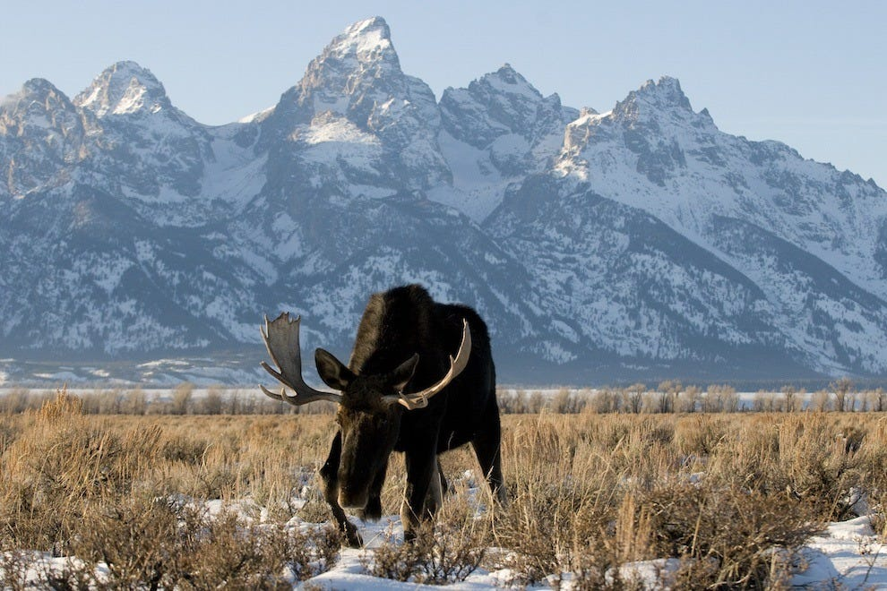 Wildlife in Jackson Hole