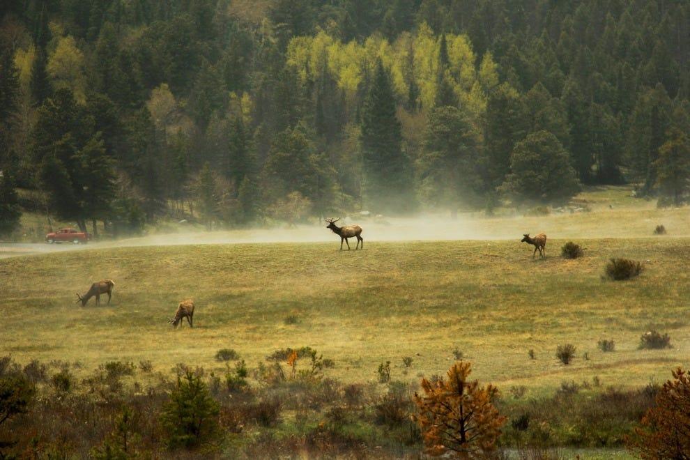 Elk grazing in the sun after rain.