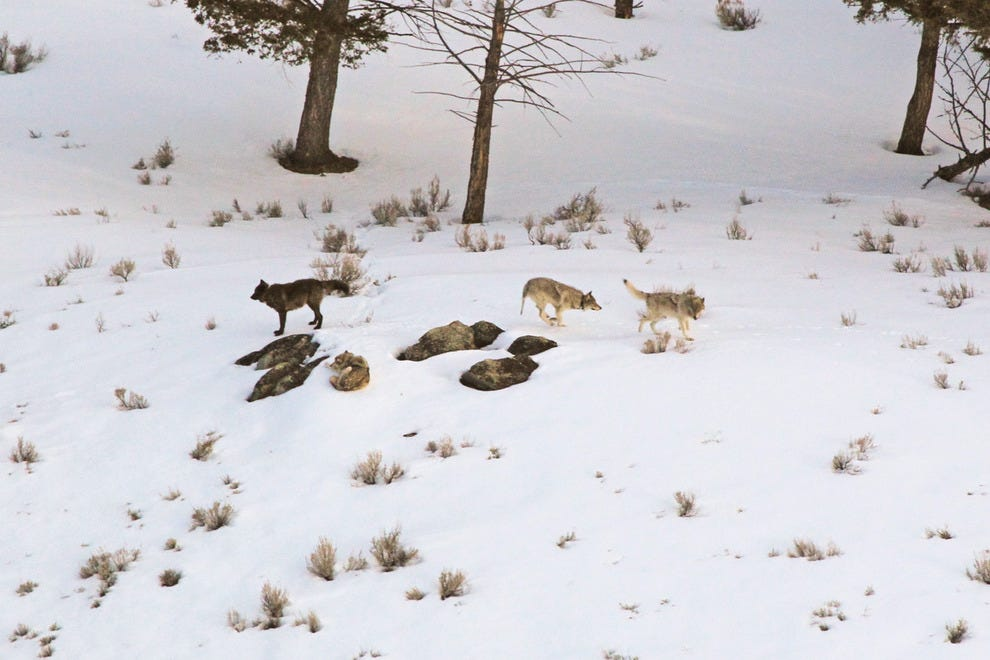 The Butte Junction wolf pack of Lamar Valley in Yellowstone