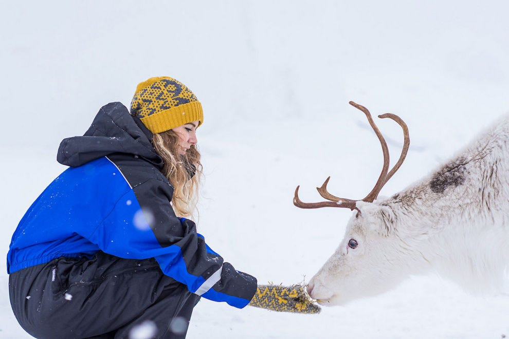 Hand-feeding reindeer is fun and you might also want to pat that velvet nose