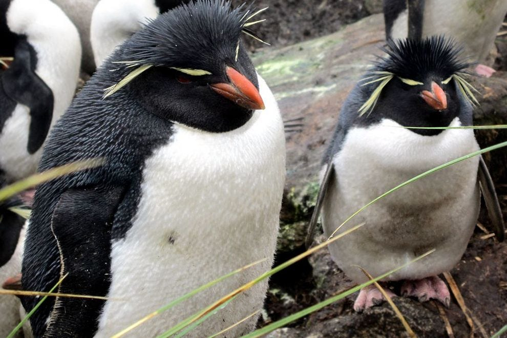 Rockhopper penguins are happy to see you on Falkland Islands, off the coast of South America