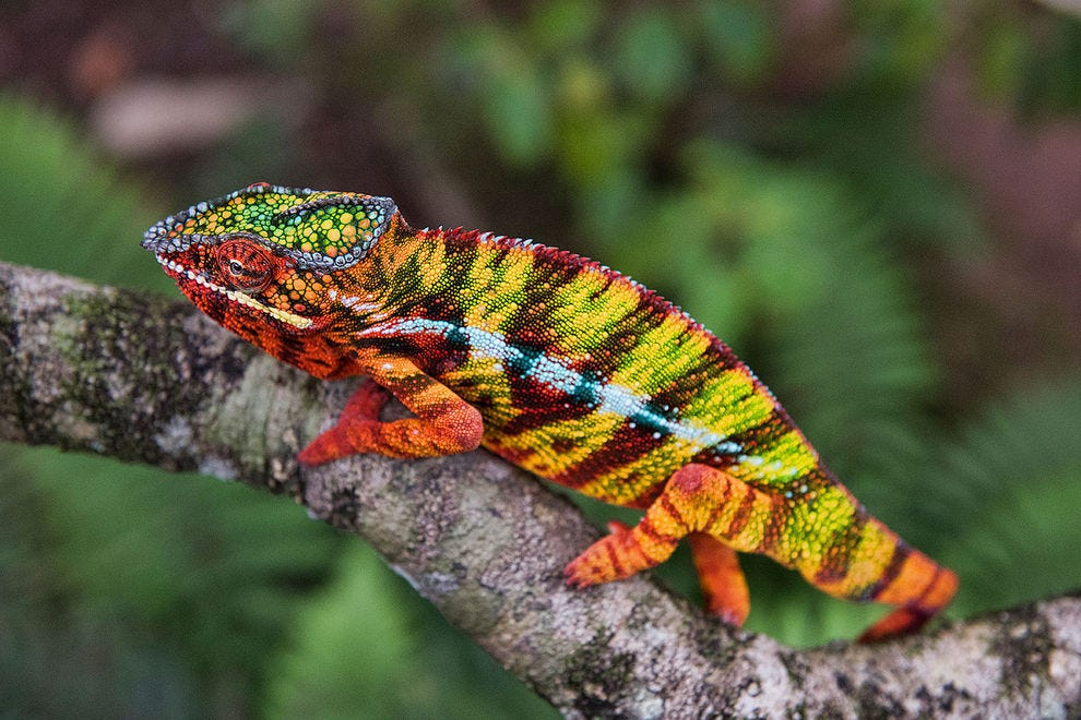 Panther chameleon, Andasibe National Park
