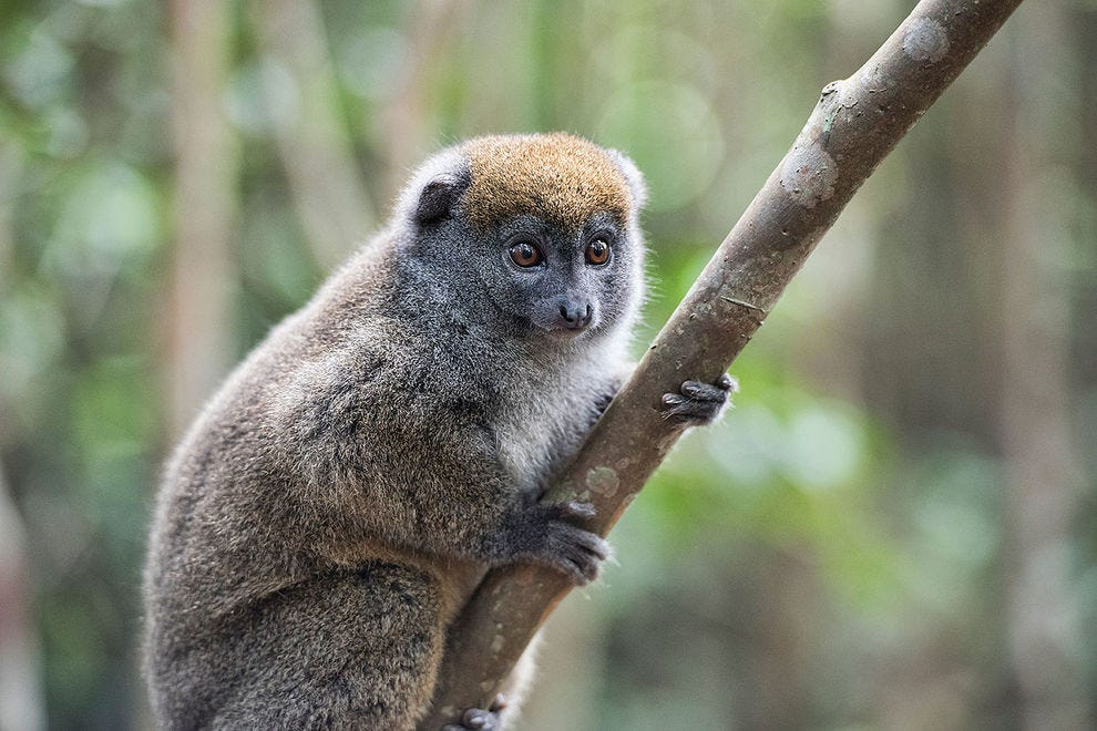 Bamboo or gentle lemur, one of the most adored and friendly lemurs
