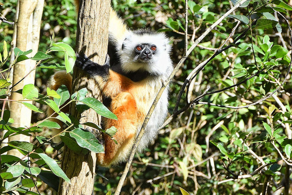 The large and colorful diademed sifaka is one of the most striking members of the lemur family