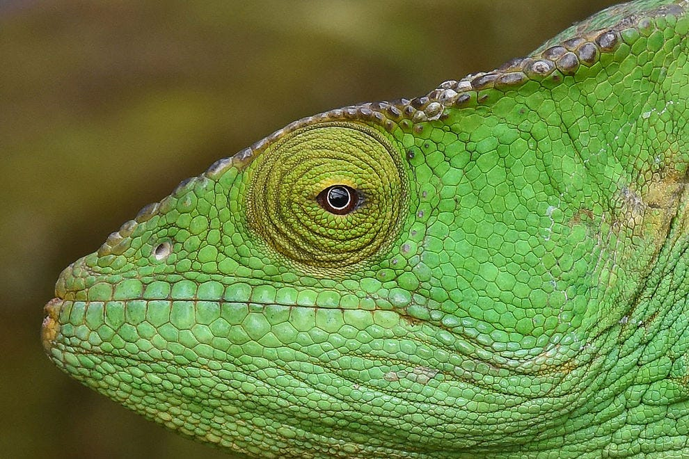 Close-up of a Parson's chameleon