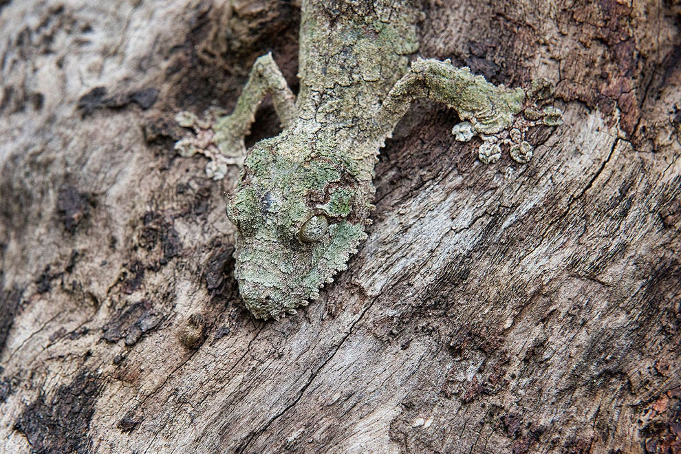 Mossy leaf-tailed gecko using the art of camouflage