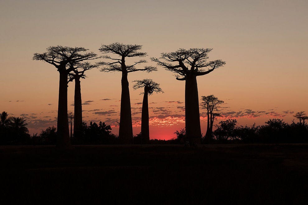 The arrival of sunset along the atmospheric Avenue of the Baobabs