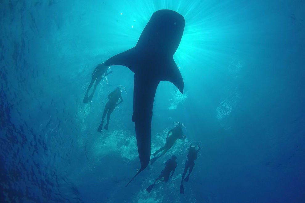 Want to swim with whale sharks? Here are 10 things you should know