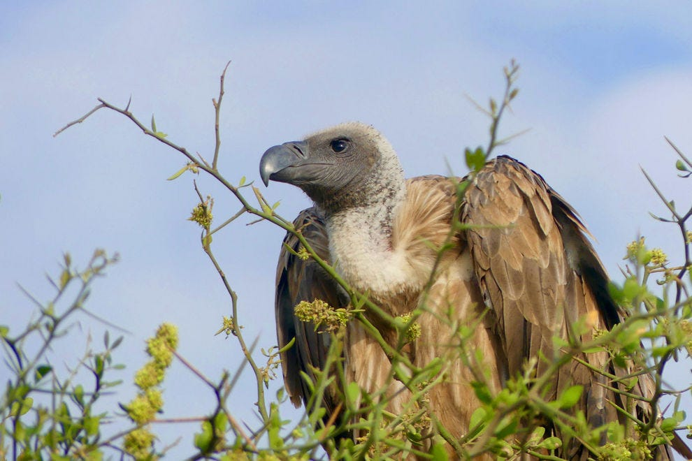 Vulture in the top of tree in Serengeti National Park