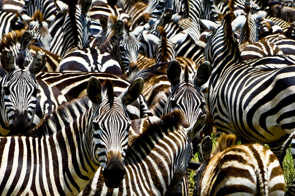 Zebras are among the most frequently spotted wildlife in Serengeti National Park