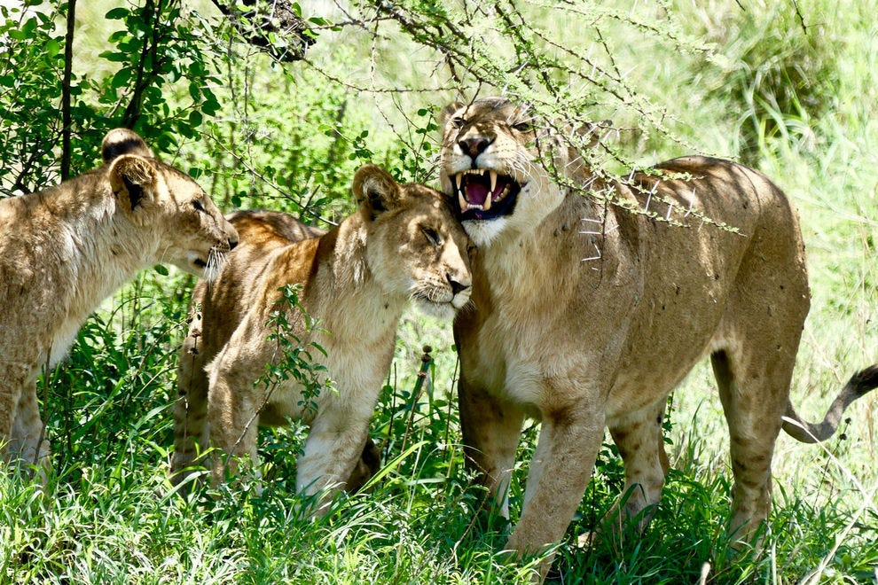 A lion family reunites after an unsuccessful hunt in Serengeti National Park