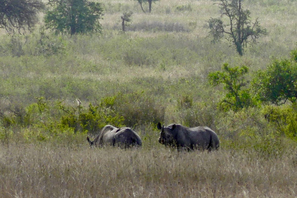 Rhinos have been reintroduced to their native Serengeti habitat but they remain endangered
