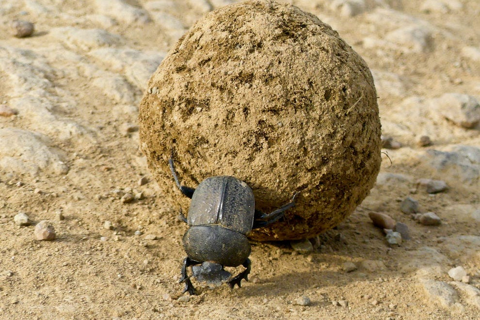 Dung beetle moving a dung ball across a dirt road in Tanzania