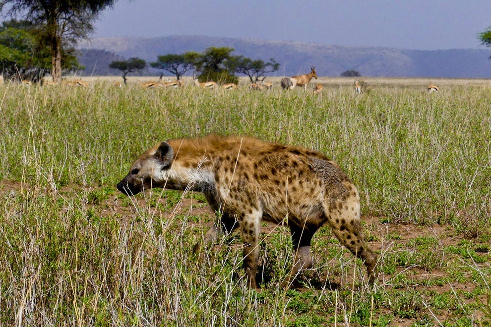 Spotted hyena skulking in the grass
