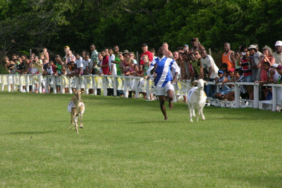 Goat races are a highlight of an annual festival in Buccoo Bay
