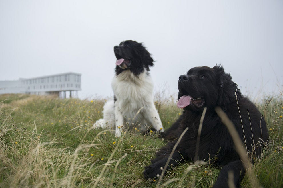 Newfoundlands in Newfoundland at Fogo Island Inn